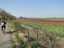 AMA-mon-tulip-field