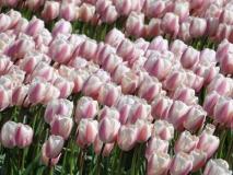 AMA-mon-tulips