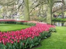AMA-tulips-2